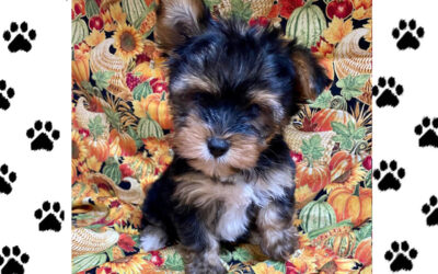 Scamp- Male Yorkie